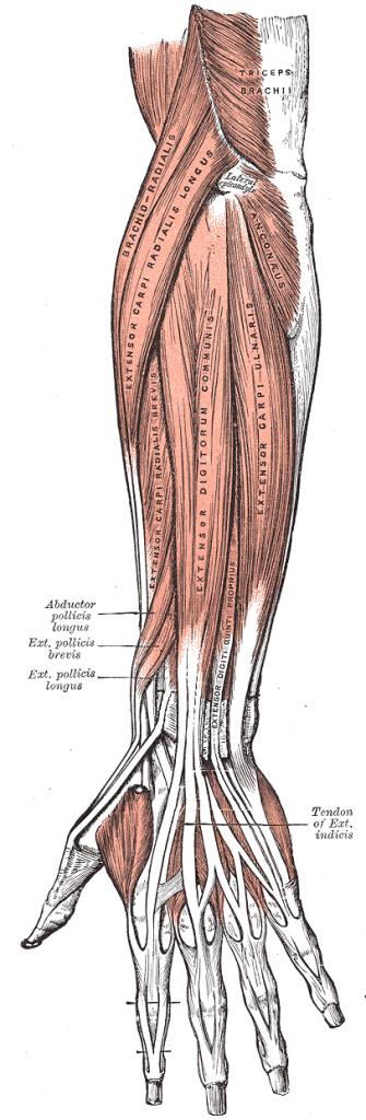 Anatomie Unterarme machen Zughilfen unnötig